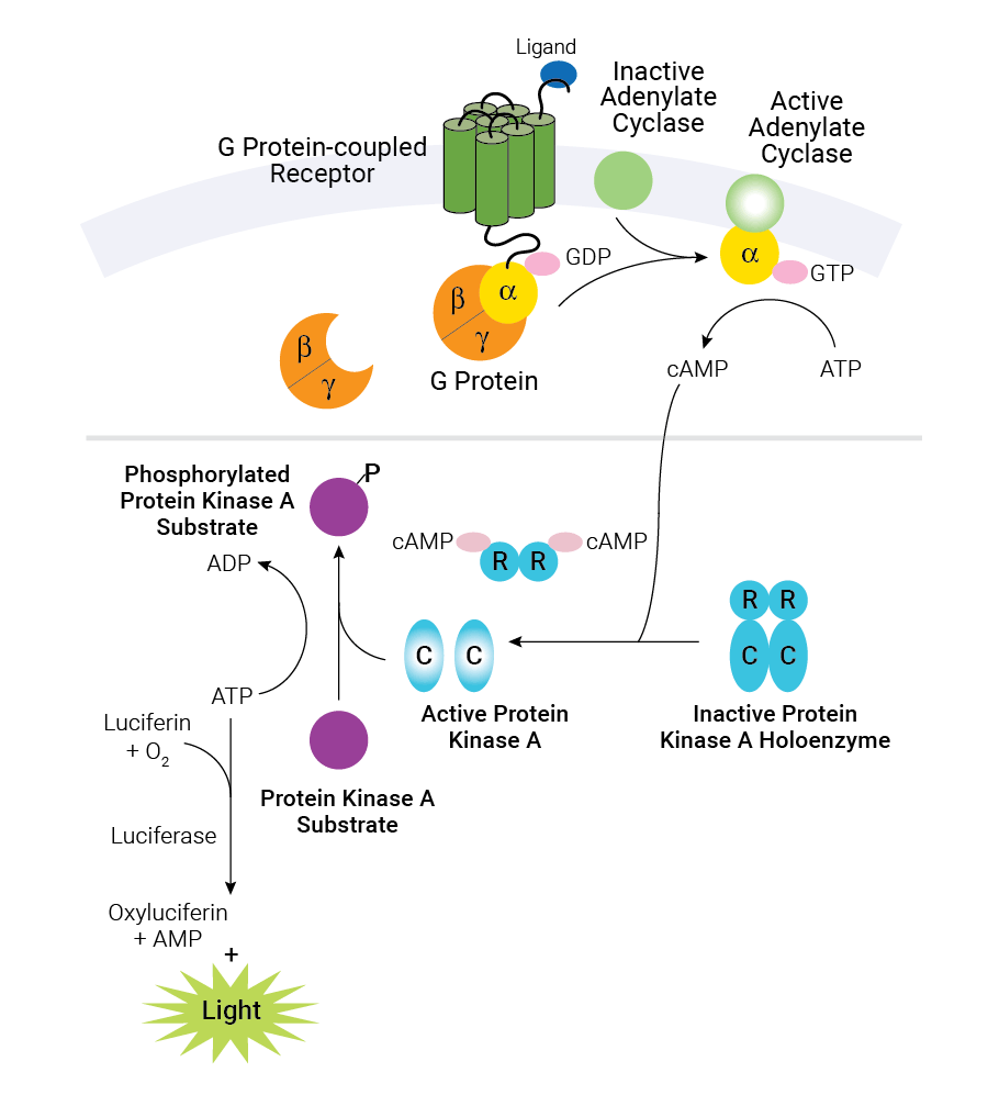 schematic diagram of cAMP production in cells