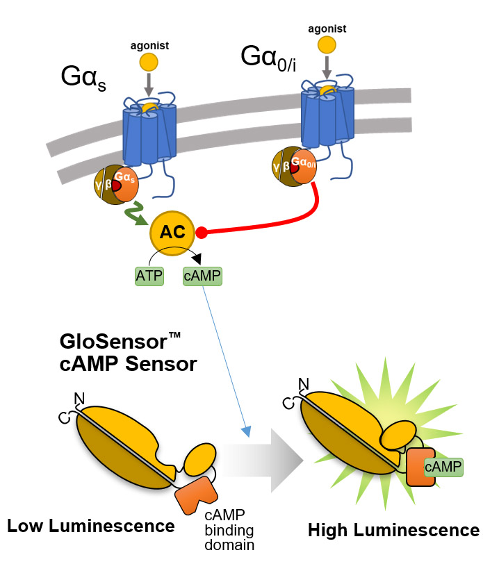 overview of the glosensor camp assay