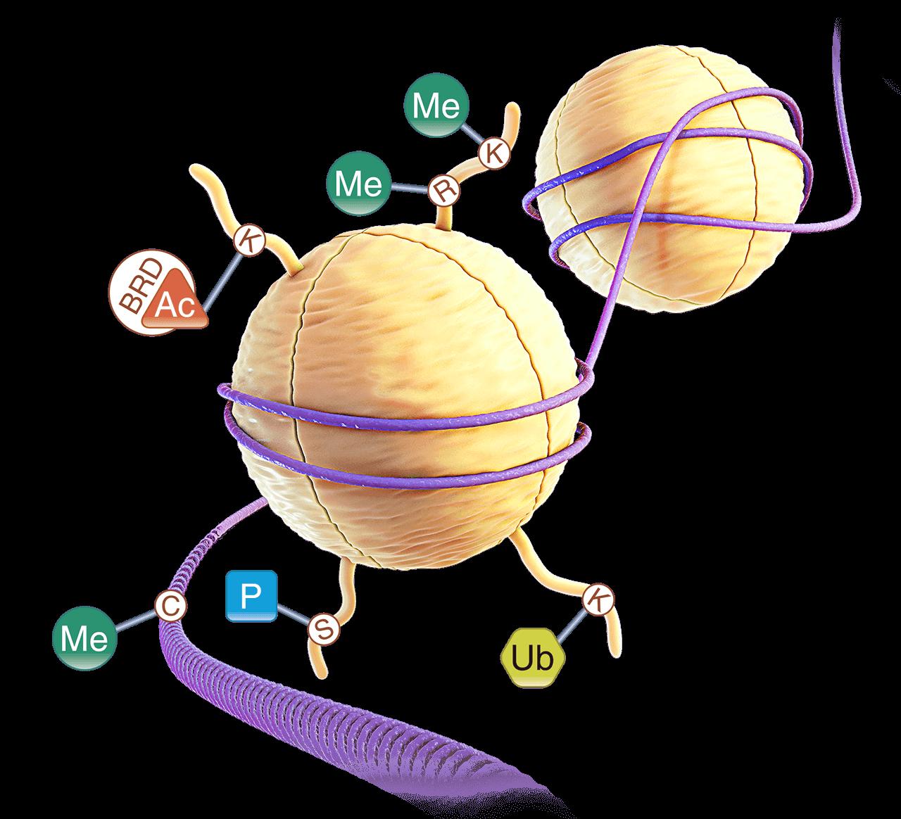 32463455-3D-Histones2