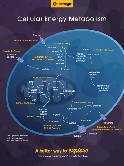 Learn about energy metabolism pathways