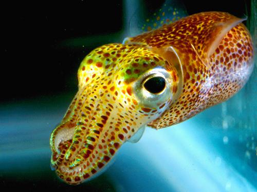 hawaiian-bobtail-squid04