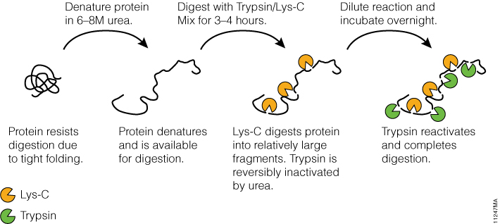 trypsin lysc digests difficult proteins for mass spec