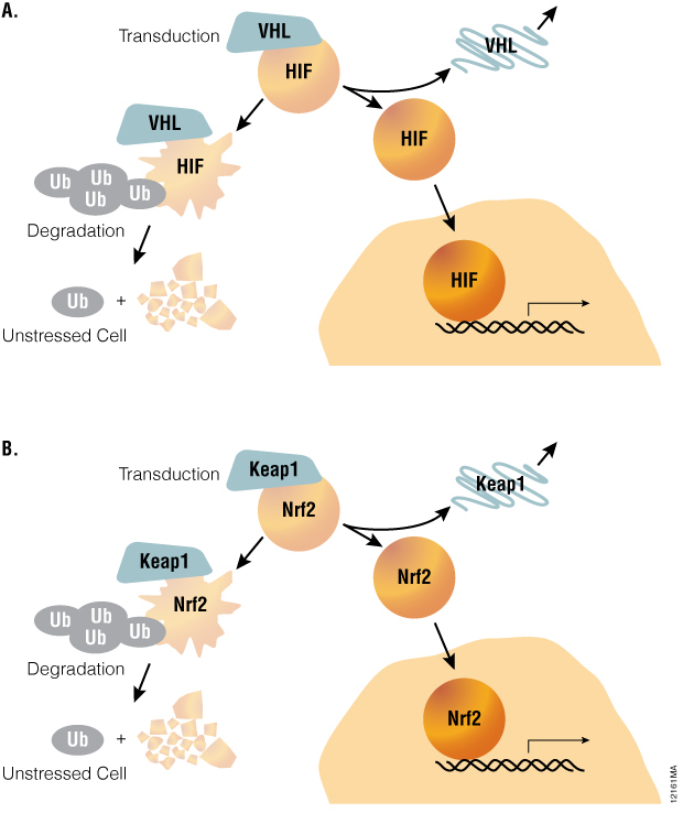 A common pathway architecture governs adaptive stress response signaling_12161MA