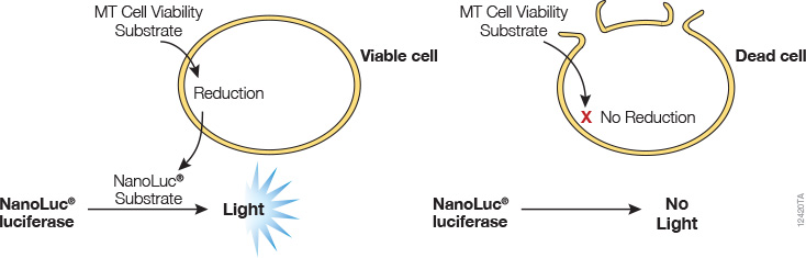 RealTime-Glo™ MT Cell Viability Assay Overview.