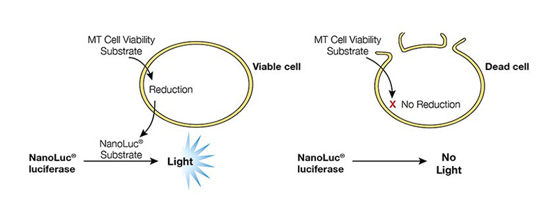 Diagram showing how the real-time-glo MT cell viability assay works.