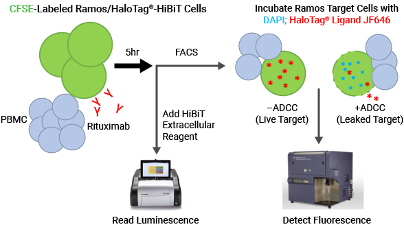 Use of HaloTag in PBMC ADCC assays
