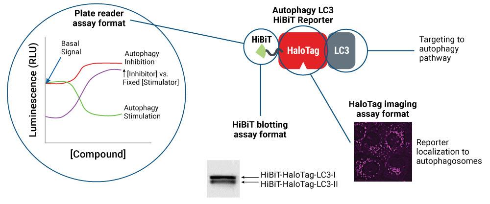 autophagy lc3 hibit reporter assay formats