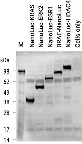 Detection of NanoLuc Luciferase on Western Blot with Anti-NanoLuc Antibody