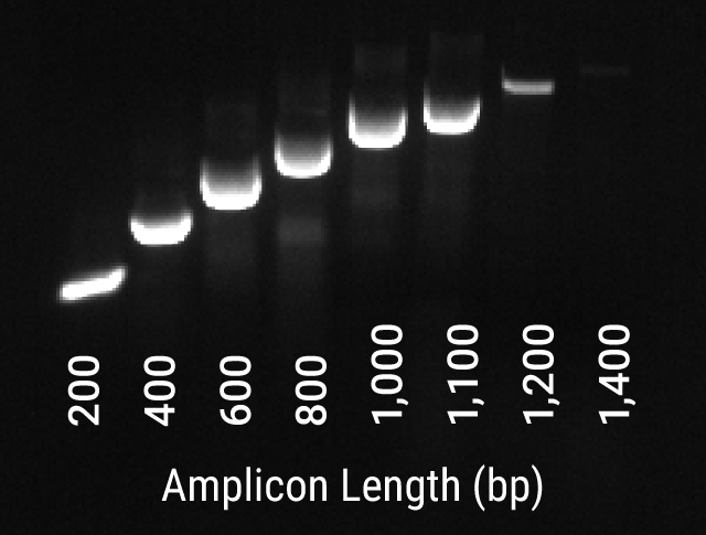 Fast PCR amplification of human genomic DNA with GoTaq Rapid PCR Master Mix.