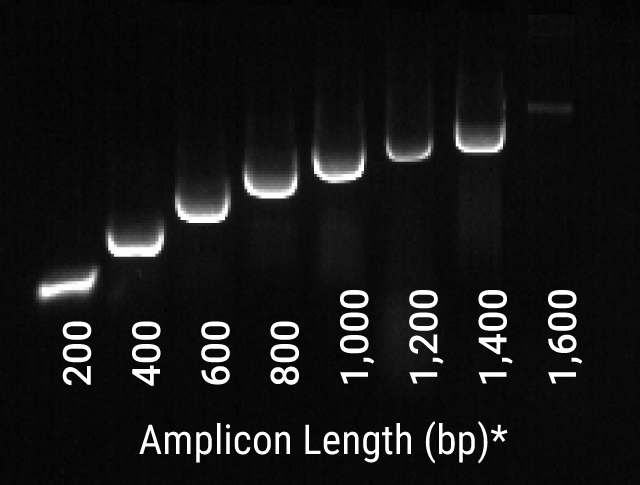 Fast PCR amplification of C. albicans DNA with GoTaq Rapid PCR Master Mix.