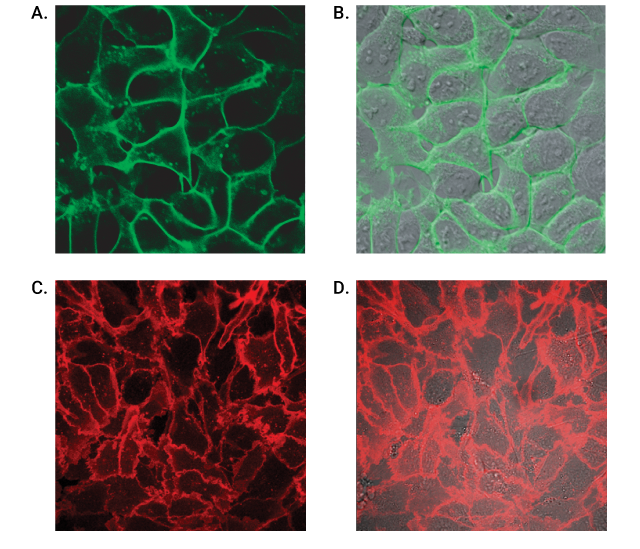 Live Cell Labeling of Cell Surface HaloTag Fusions