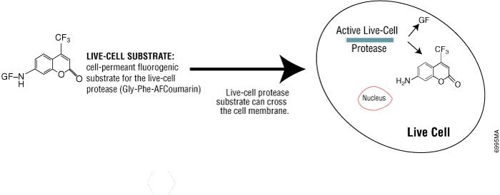 CellTiter-Fluor Cell Viability Assay chemistry.