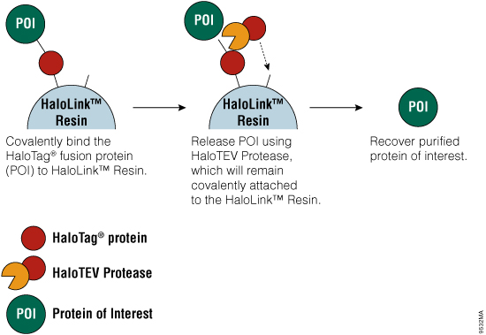 Streamlined purification process leads to higher purity and recovery of recombinant proteins from cultured cells.