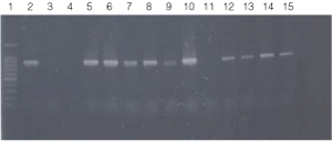PCR amplification of bacterial genomic DNA from various soil bacteria, using manual protocol #1.