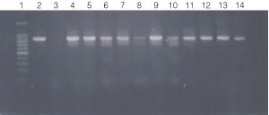 PCR amplification of bacterial genomic DNA from various soil bacteria, using manual protocol #2.