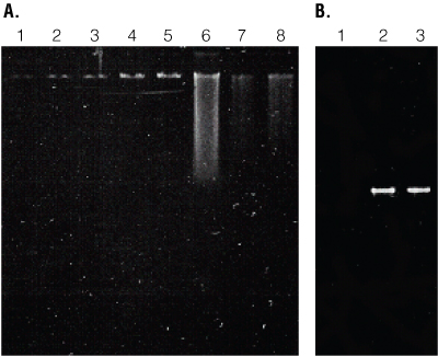 Isolation and amplification of genomic DNA from Copepods.