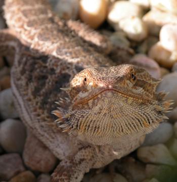 Image of a bearded dragon (Pogona vitticeps), courtesy of mrskingsbioweb.com