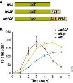 Bioluminescent reporter assay of the β2-adrenergic receptor.