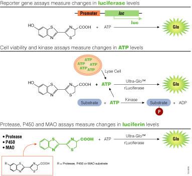 Assay strategies using bioluminescence.