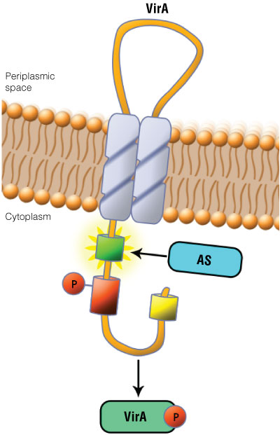 Schematic showing the location of the VirA receptor.