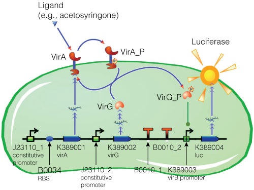 Model of acetosyringone inducible luciferase expression system in E.coli.