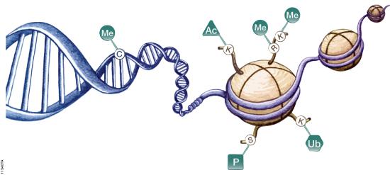Epigenetic mechanisms involved in regulation of gene expression. Figure# 11340TA