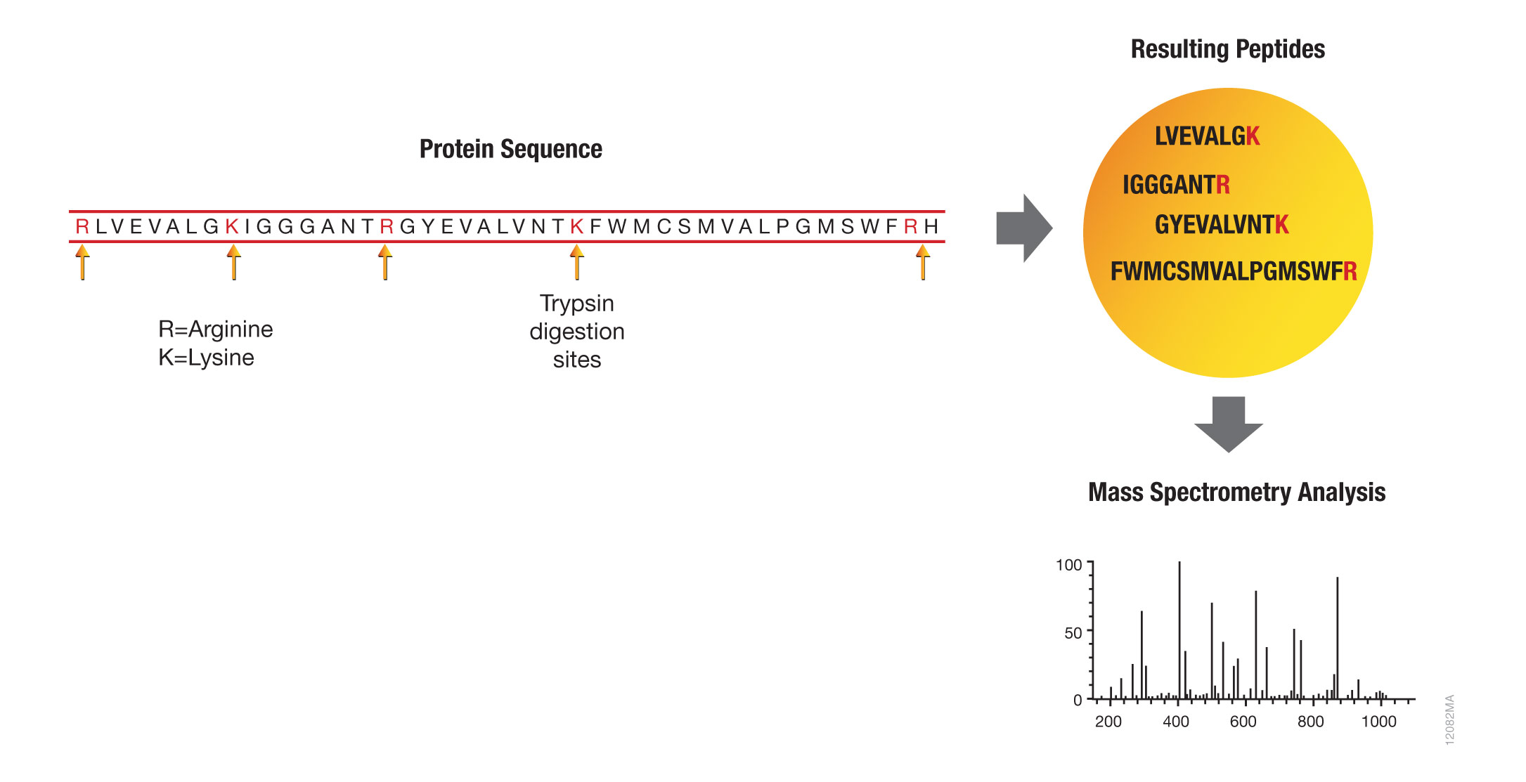 protein analysis with trypsin