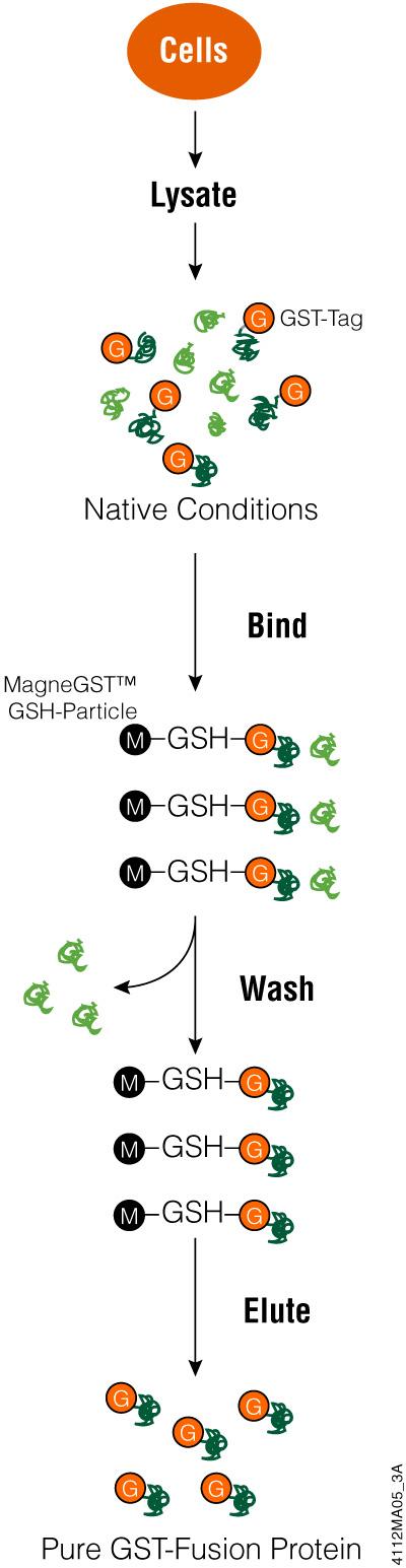GST protein purification method