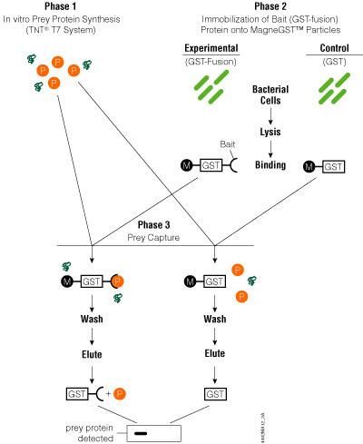 GST protein pulldown method