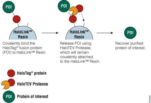 halotag fusion protein purification method