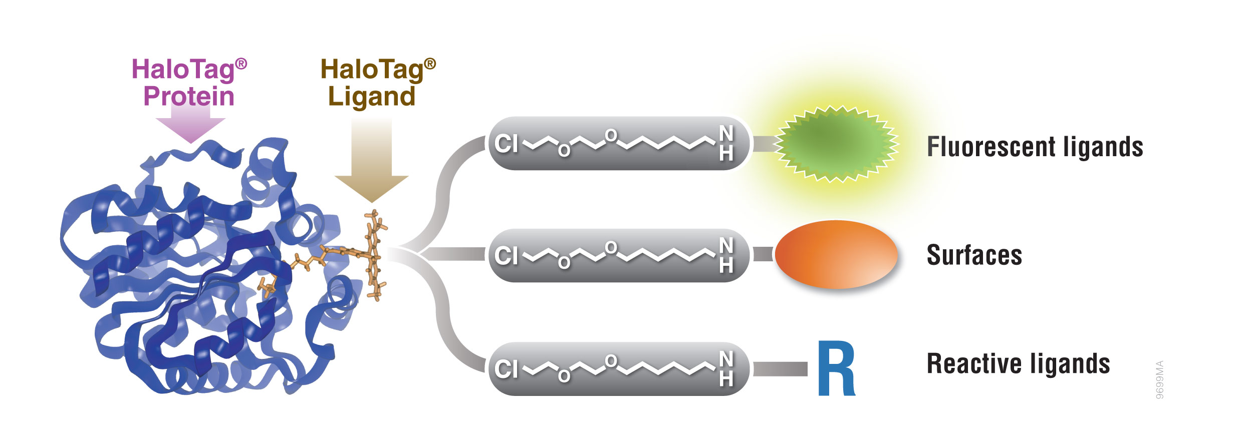 protein labeling with halotag