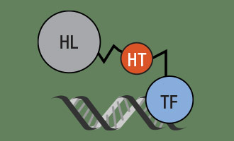 Using HaloTag to assess Protein:DNA Interactions with HaloCHIP System