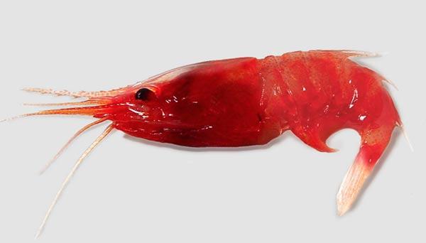 nanoluctechnologysupage-imaging-shrimp